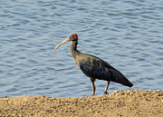 Pravine Chester - Indian Black Ibis