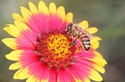 Lorri Crossno Metal Prints - Indian Blanket aka Firewheel and Bee Metal Print by Lorri Crossno