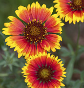 A Gurmankin - Indian Blanket Wildflower