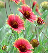 Blanket Prints - Indian Blanket Wildflowers Print by Robert Frederick