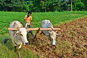Bulls Metal Prints - Indian farmer plowing with bulls Metal Print by Saurabh Kumar Nande