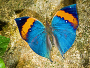 Blue And Orange Photos - Indian Leaf Butterfly by Millard H. Sharp