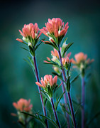 Arkansas Framed Prints - Indian Paintbrush at Dawn Framed Print by James Barber