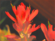 Douglas MooreZart - Indian Paintbrush