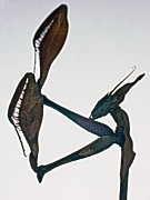Alien Bug Photos - Indian Rose Mantis Gonglus gongylodes Wondering Violin Mantis  1 of 3 by Leslie Crotty