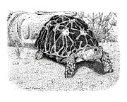Indian Ink Prints - Indian Star Tortoise Print by Paul Kmiotek