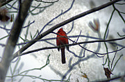 Off The Beaten Path Photography - Andrew Alexander - Indiana State Bird