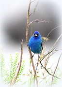 Travis Truelove Photography Posters - Indigo Bunting - Blue - Birds Poster by Travis Truelove