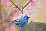 Bonnie Barry Art - Indigo Bunting in Spring by Bonnie Barry