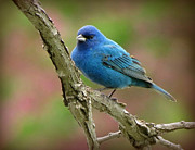 Featured Pastels Acrylic Prints - Indigo Bunting in Spring Acrylic Print by Marcus Moller