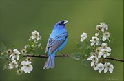 Pose Pyrography Posters - Indigo Bunting on Berry Blossoms Poster by Daniel Behm