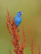 Plant Singing Prints - Indigo Bunting on DryDock Print by Daniel Behm
