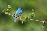 Daniel Behm Art - Indigo Bunting on Grapevine by Daniel Behm