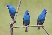 Trio Posters - Indigo Bunting Spring Poster by Bonnie Barry