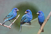 Bonnie Barry Art - Indigo Buntings by Bonnie Barry