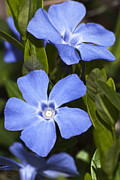 Flowers Greeting Cards Posters - Indigo Periwinkle Poster by Christina Rollo