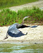 Sandi Oreilly Art - Inflight Great Blue Heron by Sandi OReilly