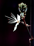 infrared Asphodel Print by Stylianos Kleanthous