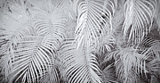 Blackandwhite Photo Metal Prints - Infrared Palm Abstract Metal Print by Adam Romanowicz
