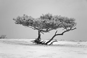 Alienating Prints - Infrared Photo of pine in winter landscape in the nature Dwingelderveld in the Netherlands Print by Ronald Jansen