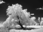 All - Infrared Willow Tree Study  by Rich Stedman