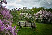 Lilacs Photos - Inhale by Ken Marsh