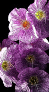 Linda Knorr Shafer - Inked In Purple