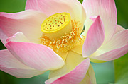 Pink Lotus Framed Prints - Inner Beauty 2 Framed Print by Fraida Gutovich