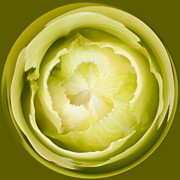 Digital Manipulation Framed Prints - Inner Cabbage Orb Framed Print by Anne Gilbert