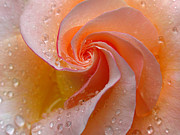 Rose Prints - Innocent Beauty Print by Juergen Roth