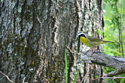 Neal Eslinger Framed Prints - Inquisitive Common Yellowthroat Framed Print by Neal  Eslinger