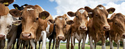 Calf Photo Posters - Inquisitive Cows Poster by Tim Gainey