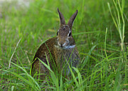 Inquisitive Rabbit Watching You Print by Inspired Nature Photography By Shelley Myke