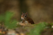 Paul Scoullar - Inquisitive Red Squirrel