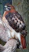 Bright Feathers Posters - Inquisitve Red Tailed Male Hawk Poster by Donna Proctor