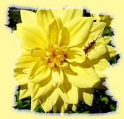 Yellow Dahlia Posters - Insect On A Dahlia Poster by Will Borden