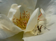 Insect On A Soft Rose Print by MM Anderson