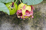 Overripe Prints - Insects eating guava Print by Saurabh and Geetanjali Nande