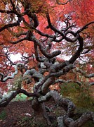 Lois Ivancin Tavaf - Inside the Japanese Maple