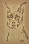 Boxer Drawings Framed Prints - Intelligence - Boxer Framed Print by Maria Urso