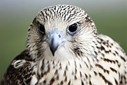 Gyrfalcon  Metal Prints - Intelligence Metal Print by Dan Myers