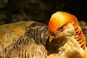 Adam Jewell - Intense Golden Pheasant