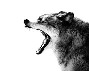 Fangs Prints - Intense Gray Wolf Portrait  Print by Stephanie McDowell