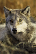 Wild Dog Posters - Intense Wolf Stare Poster by Julie L Hoddinott