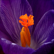 Crocus Prints - Interior Design Print by Rona Black