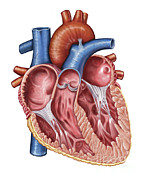 Front View Digital Art Posters - Interior Of Human Heart Poster by Stocktrek Images
