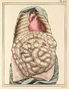 Internal Body Organs, 1825 Artwork Print by Science Photo Library