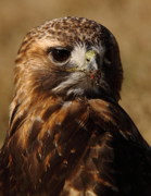 Red Tail Hawk Photo Posters - Interrupted Eating Roadkill Poster by Robert Frederick