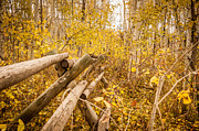 Split Rail Fence Prints - Into the Aspens Print by Bob and Nancy Kendrick