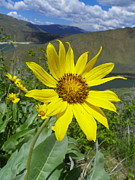 The View Mixed Media Posters - Into the Canyon - Arrowleaf Balsamroot Poster by Photography Moments - Sandi